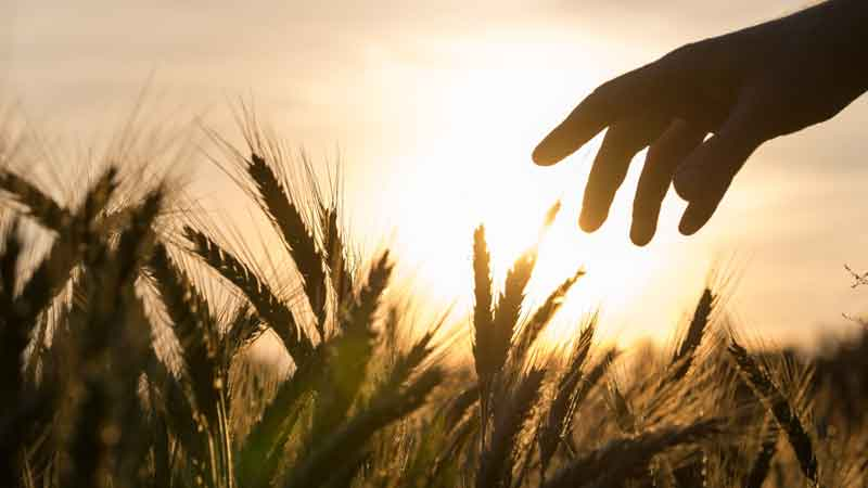 A hand reaches towards a field of grain ready for the harvest.